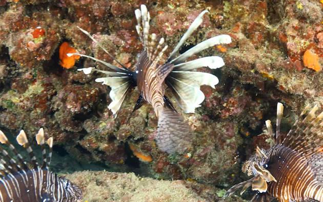 04-05 Kasım 2020'de gerçekleştirilen Aslan balığı Bilgi ve Deneyim Paylaşımı Çalıştay Sunumları ve Detaylı Deşifre notları EN/TR olarak siteye eklenmiştir